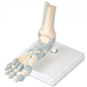 3bscientific-hand-foot-skeleton-ligaments
