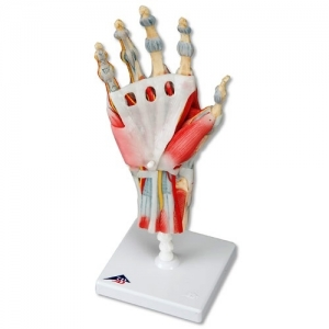 3bscientific-hand-skeleton-ligaments-muscles3