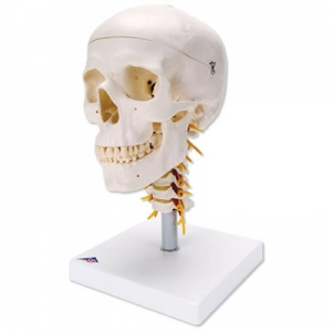3bscientific-skull-cervical-spine